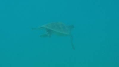 100803-02アオウミガメのオキちゃん