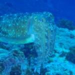 珊瑚ポイントにコブシメのペアーがいました