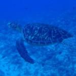 【アオウミガメ】の島