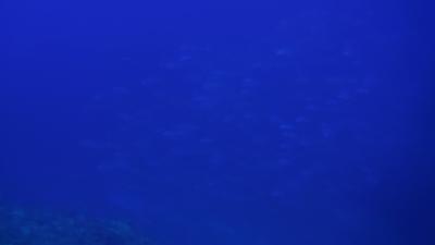 101005-06 ギンガメアジ