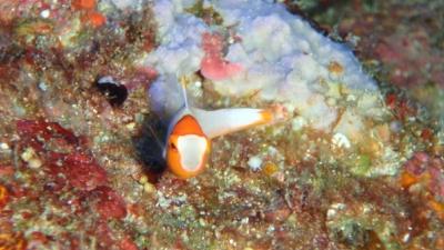 20100816-04イロブダイの幼魚