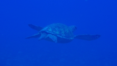 20100820-04アオウミガメ