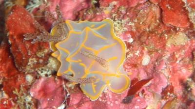 20100820-05キスジカンテンウミウシ