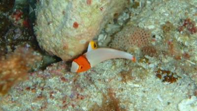 20100820-06イロブダイ幼魚