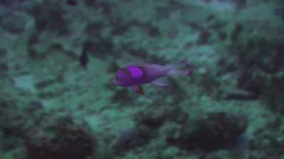 20101120-05 スミレナガハナダイ