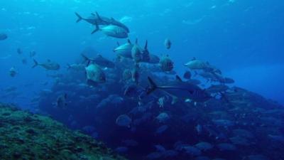 20101205-13ギンガメアジ