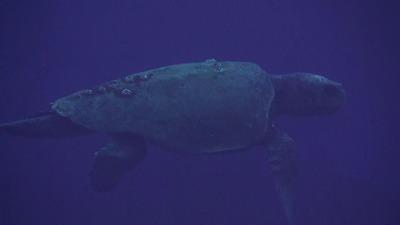 20101217093411アカウミガメ