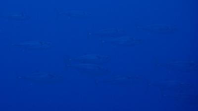 20110519-05イソマグロの大群