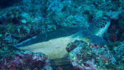 20110519-09爆睡中のアオウミガメ