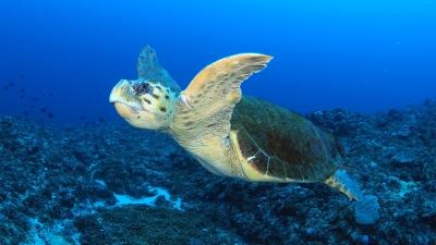 20110522-01アカウミガメ
