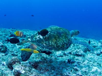 20110523-01クリーニングされるアオウミガメ