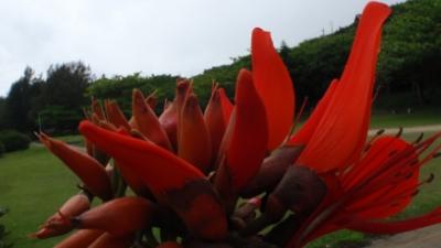 20110523-06デイゴの花