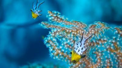 20110606-01ヒオドシベラ幼魚