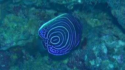 20110606-04タテジマキンチャクダイの幼魚