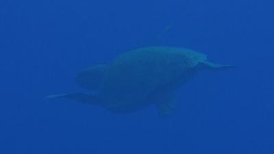 20110607-01アカウミガメのメス