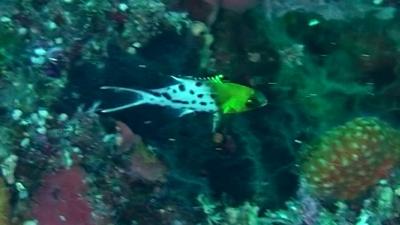 20110607-03ヒオドシベラ幼魚