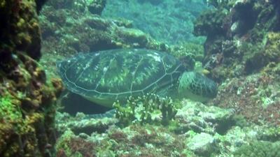 20110608-05食事中のアオウミガメ