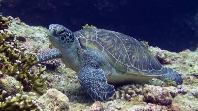 20110617-07アオウミガメ