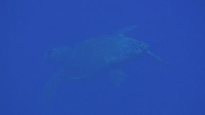 20110620-03アカウミガメのメス