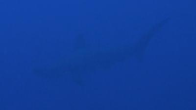 20110622-01アカシュモクザメ