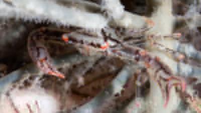 20110622-06アミメベニサンゴガニ
