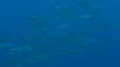 20110627-01ギンガメアジ