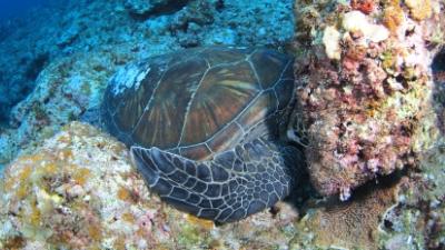 アオウミガメ20110601-01