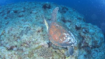 アオウミガメ20110601-03