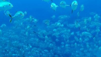 20110701-05突っ込んでくるギンガメアジ