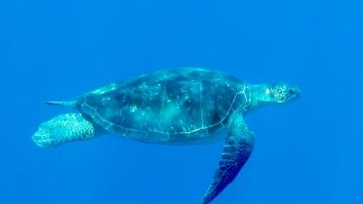 20110701-06アオウミガメ