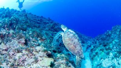 20110712-03寝起きのアオウミガメ