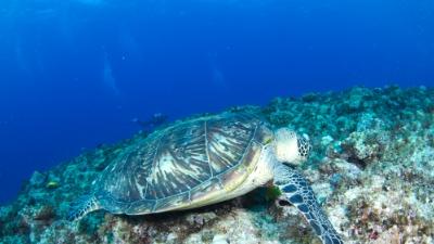 20110712-04食事中のアオウミガメ