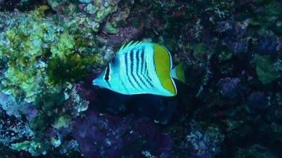 20110712-06アミメチョウチョウウオ