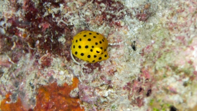 20110723-04ミナミハコフグ幼魚