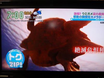 P7100112アカウミガメ