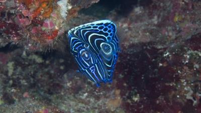 20110731-03タテジマキンチャクダイ幼魚