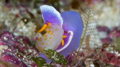 20110811-02シンデレラウミウシを食べるキイボキヌハダウミウシ