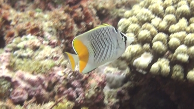 20110811-07アミメチョウチョウウオ