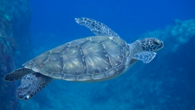 20110812-03アオウミガメの岬ちゃん