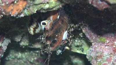 20110814-02ヒレボシミノカサゴ