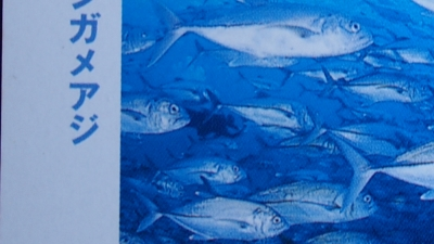 20110817-03沖永良部のギンガメ