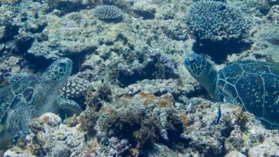 20110821-02向き合うアオウミガメ