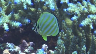 20110821-06ハナグロチョウチョウウオyg