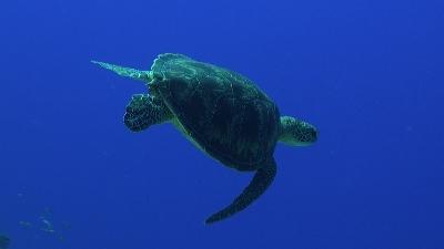 20110823-01アオウミガメ