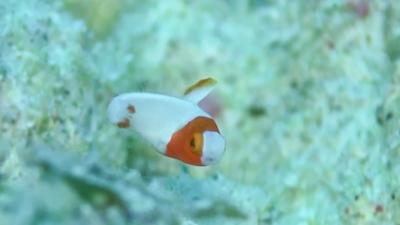 20110823-04イロブダイ幼魚
