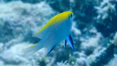 20110824-03クロスズメダイ幼魚