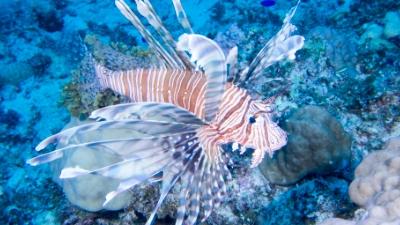 20110923-03ハナミノカサゴ