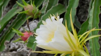 20111004-02ドラゴンフルーツと花