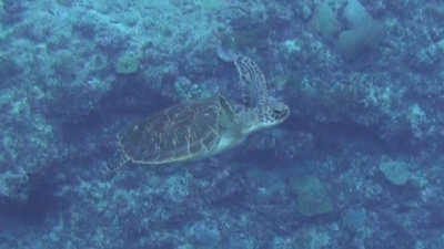 20111009-04アオウミガメ
