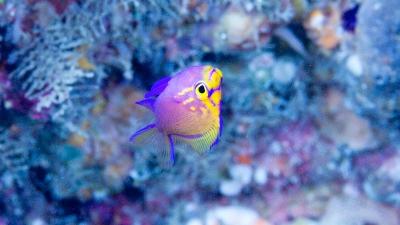 20111011-03ハナゴンベ幼魚